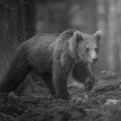 Land of bears-Marcello Galleano-finalist-black_and_white-6476