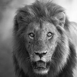Lion king-Marcello Galleano-finalist-black_and_white-6477