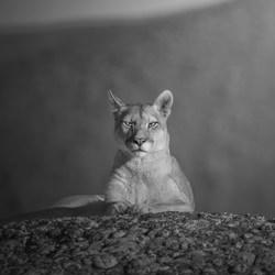 Royal portrait of a cougar-Marcello Galleano-finalist-black_and_white-6479