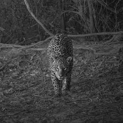 Wild velvet-Marcello Galleano-bronze-black_and_white-6384