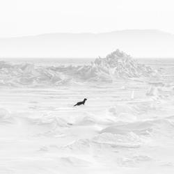 Sable on the frozen Baikal-Csaba Tokolyi-bronze-black_and_white-6354