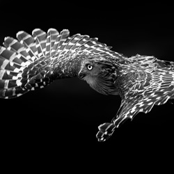 Flight of Buffy Fish Owl-Partha Roy-silver-black_and_white-6577
