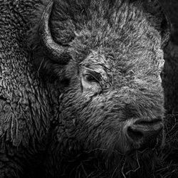 American Buffalo-Bev Pettit-finalist-black_and_white-6441