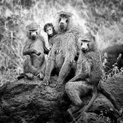 Baboon Family, Tanzania-Bev Pettit-finalist-black_and_white-6442