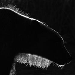 Backlit Bear-Jon Lloyd-finalist-black_and_white-6462