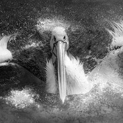 dolphin swimmer-Narsiskus Tedy-silver-black_and_white-6623