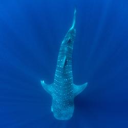 Whale Shark In Blue-Andy Lerner-finalist-fine_art-2951