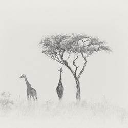 Giraffe Pair-Andy Lerner-finalist-fine_art-2952