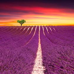 Lavender Fields-Steve Lash-finalist-fine_art-2913