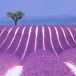 Lavender Fields-Steve Lash-finalist-landscape-541