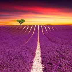 Sunset Lavender Fields-Steve Lash-bronze-landscape-3377