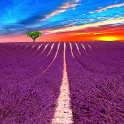 SunriseLavender Fields-Steve Lash-bronze-landscape-3378
