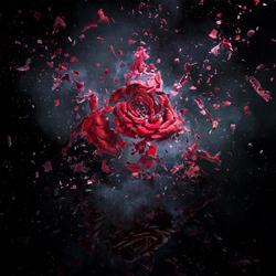 Exploding Rose-Jonathan Knowles-silver-still_life-3907
