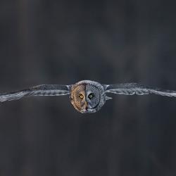 Great Gray owl In Flight-Tin Sang Chan-bronze-wildlife-5685
