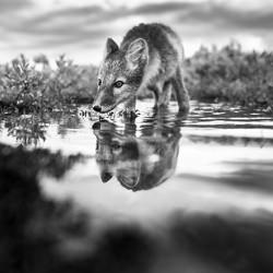 Arctic Fox-Arnfinn Johansen-bronze-wildlife-5694