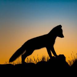 Arctic Fox after sunset-Arnfinn Johansen-bronze-wildlife-5695