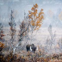 Moose rut-Arnfinn Johansen-finalist-wildlife-5775