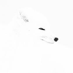Arctic Fox Whiteout-Arnfinn Johansen-bronze-wildlife-5696