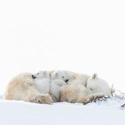 WAPUSK POLAR BEARS-Dorota Senechal-bronze-wildlife-5683