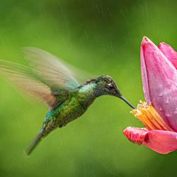 Flying Jewel-Francisco Donaire-silver-wildlife-5832