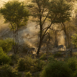 Zebra in the dust at Sunset-Karin Van Couwenberg-bronze-wildlife-5700