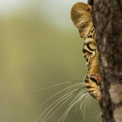 Peek-a-Boo ... I do see you!-Karin Van Couwenberg-bronze-wildlife-5701