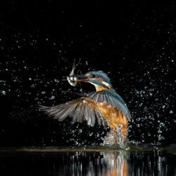 Kingfisher catching three fish in a split second-Karin Van Couwenberg-bronze-wildlife-5702