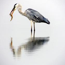 Grey Heron-Sanat Shodhan-finalist-wildlife-5785