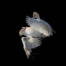 Ballet aérien-Camille Briottet-bronze-wildlife-5677