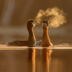 Red-necked Grebes-Jean Simon Begin-silver-wildlife-5833
