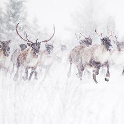 Toundra Caribou-Jean Simon Begin-bronze-wildlife-5703