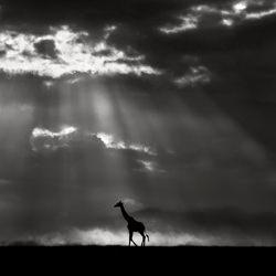 Giraffe at sunrise at Masai Mara plains-Xavier Ortega-bronze-wildlife-5704