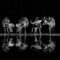 Late Night Drink-Xavier Ortega-silver-wildlife-5834