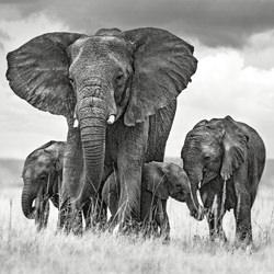 Elephant mom protecting her calves_-Xavier Ortega-finalist-wildlife-5787