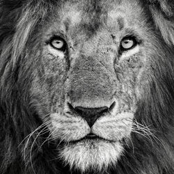 Royal portrait-Xavier Ortega-silver-wildlife-5837