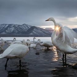 Starring The Swan-Jo Van Rossem-finalist-wildlife-5753
