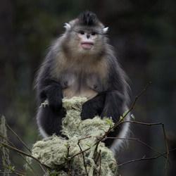 Black Snub-Nosed Monkey-Jo Van Rossem-finalist-wildlife-5754