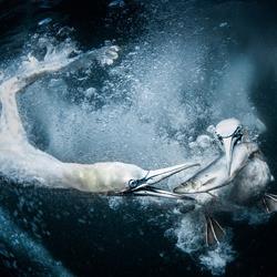 Underwater Gannets-Tracey Lund-gold-wildlife-5809