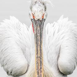Pelican Stare-Tracey Lund-bronze-wildlife-5676