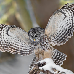 Barred owl-Tin Sang Chan-finalist-wildlife-5764