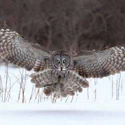 Great Gray owl-Tin Sang Chan-bronze-wildlife-5686