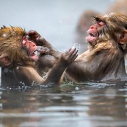 Baby Snow Monkeys-Ramesh Letchmanan-finalist-wildlife-5788