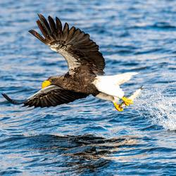 Eagles Catch-2-Ramesh Letchmanan-finalist-wildlife-5789