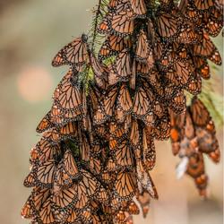 Soul Messengers (Monarch Butterflies)-Marco Ortiz-bronze-wildlife-5709