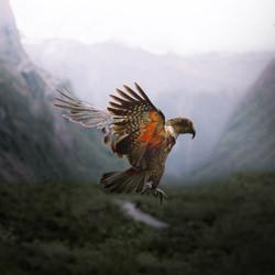 Kea in Flight-Jinal Govind-silver-wildlife-5824