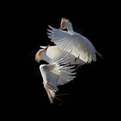 Ballet aérien-Camille Briottet-bronze-wildlife-5679