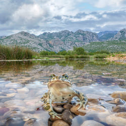 Green Toad-Petr Bambousek-bronze-wildlife-5713