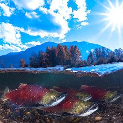 Salmon-Yung-sen Wu-finalist-wildlife-5801