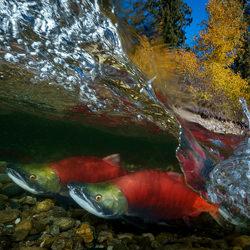 Salmon-2-Yung-sen Wu-silver-wildlife-5840