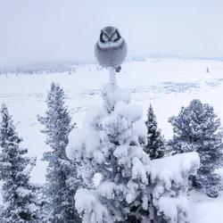 Hawk owl-Pål Hermansen-silver-wildlife-5821